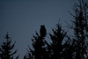 Great Horned Owl, Phippsburg, Maine, Totman Cove, November 14, 2012, 4:46 pm