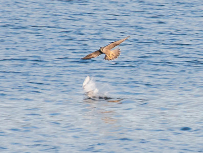 A Peregrine falcon attacking a Laughing Gull, Totman Cove Phippsburg Maine late summer