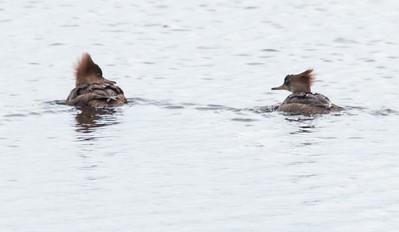 April 28, 2014 Hooded Merganser hens, Watah Lake, Sebasco Harbor, Phippsburg Maine