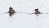 April 28, 2014 Hooded Merganser hens, Watah Lake, Sebasco Harbor, Phippsburg Maine
