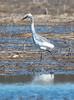 Possible immature Little Blue Heron, April 15, 2015, Scarborough Marsh, Scarborough, Maine