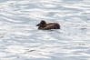 Unidentified duckkkkk/duckling with Common eider juveniles, Totman Cove, July 25,m 2013