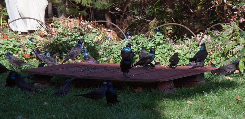 Comon Grackles, migratory flock, Totman Cove, Phippsbhurg Maine November 12, 2013