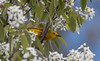 A Yellow Warbler gleening insects from the spring canopy of Shadblow, also known as Service berry, Phippsburg, Maine May