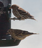 Pine siskins, May, Phippsburg Maine top? adult, bottom ? juvenile