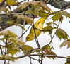A Yellow Warbler gleening insects from the spring canopy, Phippsburg, Maine May