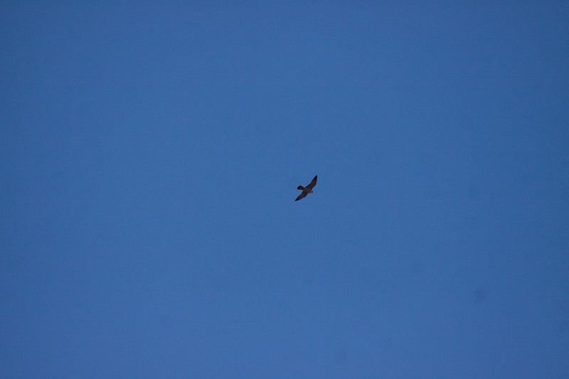 Peregrine falcon, one of two seen together soaring above downtown Bath, Maine, February 5, 2013