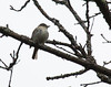 Unknown passerine, Evergreen Cemetery, Portland Maine May 9, 2014, ? flycatcher, bird about 5-6 inches, primary projections, wing bars, dark small bill, eye ring, yellowish wash on thoat and breast, photo from back shows olive/yellow color, long tail