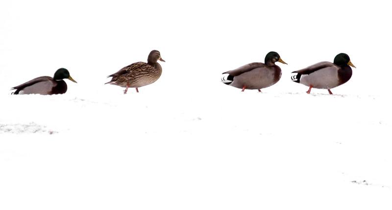 Mallards, left to right, drake, hen, Mallard X American Black duck hybrid, Mallard drake, snow, Maine, February 2012