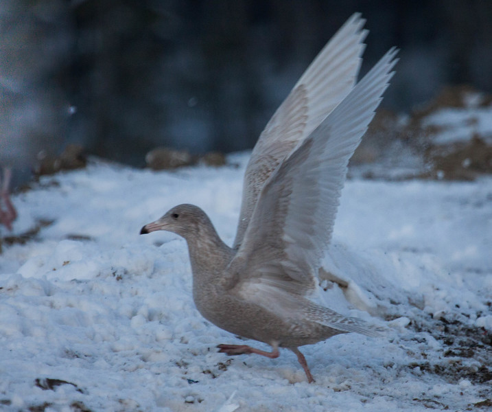 """Glaucous gull, Larus hyperboreus is a large gull of the Arctic. This is an immature, first winter gull. Most of the Glaucous gulls seen as far south as coastal Maine are immature. This was photographed at the Bath City landfill, December. For a helpful link to gull identification, see this <a href=""""http://www.tertial.us/gulls/gulls.htm"""">http://www.tertial.us/gulls/gulls.htm</a>"""