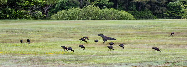 Glossy ibis feeding on flooded grasslands after heavy rainfall, Phippsburg Maine June