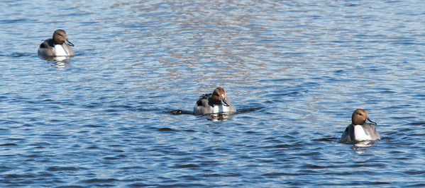 Northern Pintail ducks, three of a flock of 4. There was also a hen. Damariscotta Mills, Maine Knox County