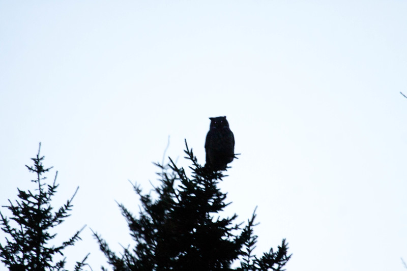 Great Horned owl silouetted agains night sky, eyes glowing in camera flash, Phippsburg, Maine, November Great Horned Owl, Phippsburg, Maine, Totman Cove, November 14, 2012, 4:46 pm