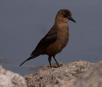 Female Boat Tailed Grackle, Fort Lauderdale, Florida. A life bird for me
