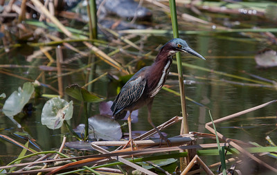 Green Heron, Butorides virescens foraging