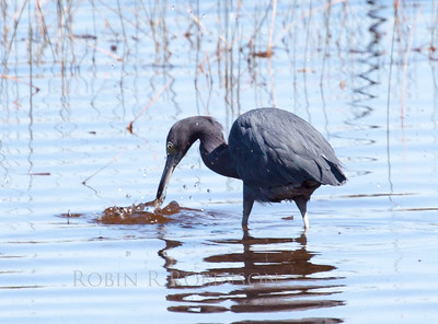 Little Blue Heron fishing, Florida Everglades, Everglades National Park, March 2013