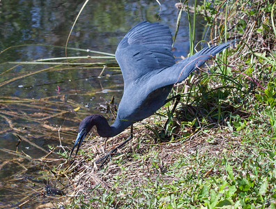 Little Blue Heron fishing in The Everglades National Park, south Florida, March, 2013. A life bird for me