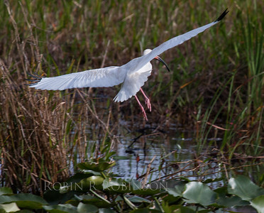 White Ibis in flight. March, 2013, The Everglades National Park, south Florida.