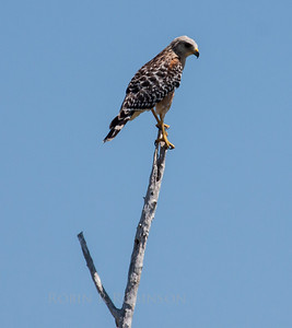Red Shouldered hawks are common raptors in south Florida. We also have them in Maine though they are not common here.