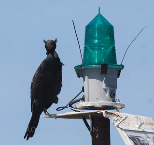 Double Crested Cormorant with crests up - full breeding plummage. Bird is perched on a marine navigational light