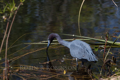 Little Blue Heron fishing with nice reflection in water, The Everglades National Park, south Florida, March, 2013. A life bird for me