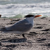 Royal Tern on beach in South Florida on Sanibel Island. Maine does occaissionally host Royal Terns. They have been reported in Sagadahoc County on Seawall and Popham Beach in Phippsburg.They are bigger by nearly double the size of Common Terns which we commonly see in Maine in the summer.