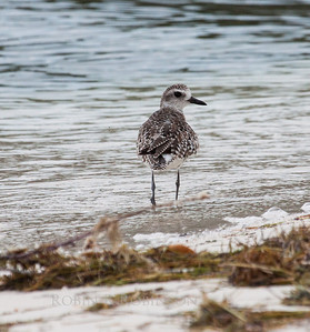 I think this is a Black-bellied Plover, though I'm not sure. It would be a non breeding adult. March, 2013, south Florida. We have Black-bellied Plovers in Maine as a very migratory shore bird in summer
