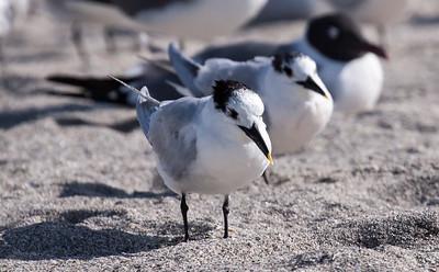 Sandwich Terns, Adult nonbreeding