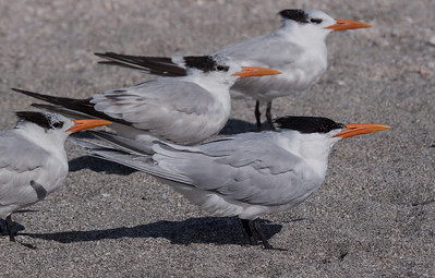 Royal Terns resting in the sand, Sanibel Isand, Ding Darling Wildlife Refuge, south Florida, March, 2013