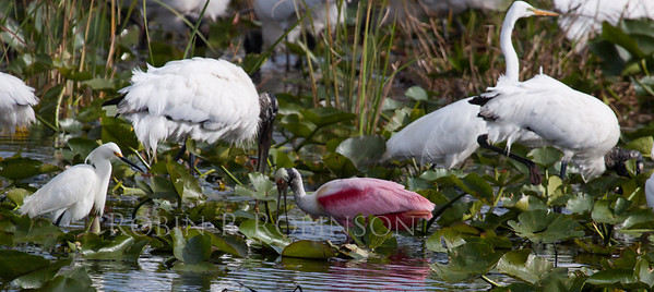 Roseate Spoonsbills, Snowy Egrets, Great Egrets, Wood Storks, White Ibis and Great White Herons feeding. March, 2013, The Everglades National Park, south Florida. This flock of wading birds were feeding in a drainage canal on Route 41, also known as Alligator Alley. They were some of the first birds I saw in Florida. It was so spectacular that I found it almost overwhelming.