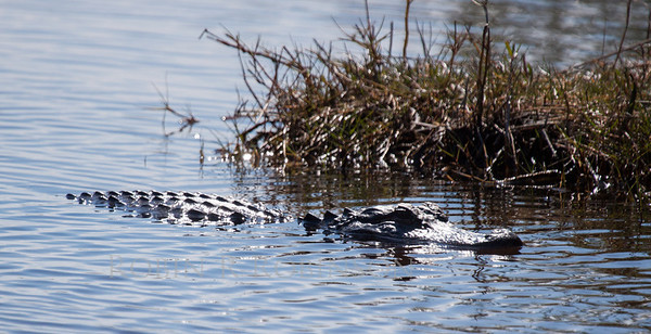 Alligator swimming. This was the first alligator I ever saw. It was about ten feet long. I would see hundreds after this first. There's nothing like your first!