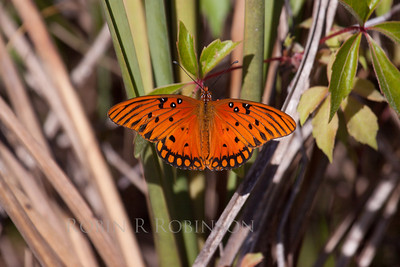 Gulf Fritillary butterfly, Shark Valley, The Everglades National Park, Florida, March, 2013