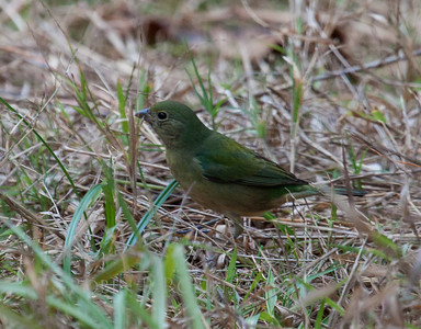 Painted Bunting, female gleening insects from grass, south Florida, Key West Tropical And Botanical Gardens, March, 2013. A life bird for me!
