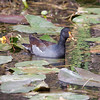 A Common Moorhen, also called a Common Gallinule paddling amongst lily pads foraging for food. This bird is sometimes seen in southern Maine in the summer. I once saw one on the north end of The New Meadows River in North Bath, Maine. The river is actually a tidal estuary with salt marshes which is perfect habitat for this birds.