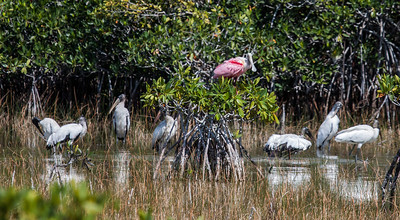 Mixed flock of wading birds, endangered Wood Storks and Roseate Spoonbill (Platalea ajaja), Roseate Spoonbill (Platalea ajaja),, The Everglades National Park, Shark Valley, Florida, March, 2013