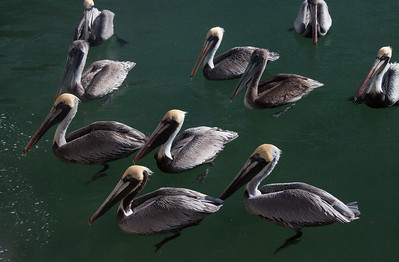 Brown Pelican flock, Key West Florida. These birds are like our sea gulls in the Northeast: noisy and aggressive. Don't even think about feeding them! They were a life bird for me.