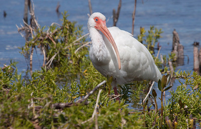 White Ibis, a life bird for me. I have now seen three species of ibis: White Faced Ibis, Glossy Ibis (both in Maine), and the White Ibis of Cleopatra fame. Now, if only one of these white ones would come to Maine........Photographed in The Everglades National Park, Florida, March 2013