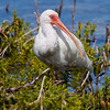 White Ibis White Ibis in South Florida. To my knowledge, no White Ibis have been reported in Maine. But, one never knows! I have seen White Faced Ibis and many Glossy Ibis here, so anything is possible.