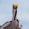 "Brown Pelican close up, frontal view. The Laura Quinn Wild Bird Sanctuary and Rehabilitation Center, Travenier, Florida <a href=""http://fkwbc.org/index.php/about-us"">http://fkwbc.org/index.php/about-us</a>"
