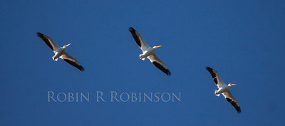 American White Pelicans in flight, trio photographed in south Florida in The Everglades National Park, March, 2013