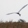 Great Egret in flight. The Everglades National Park, south Florida. This flock of wading birds were feeding in a drainage canal on Route 41, also known as Alligator Alley. They were some of the first birds I saw in Florida. It was so spectacular that I found it almost overwhelming.