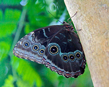 Giant Blue Morpho butterfly, ventral view. These guys were so active, it was nearly impossible to get a clean, sharp shot. They were everywhere, but when they landed, they invariably had their wings up, as you see here. We visited the Key West Butterfly and Nature Conservancy in Key West. It was a moving experience. It is set up as if the visitor is inside a giant terrarium amidst the butterflies (over 1500!), exotic birds and flowers. I recommend it for anyone giong to Key West. For more, see http://www.keywestbutterfly.com/info.htm,