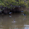 Black-necked Stilts in Key West, Florida, March 2013. The Laura Quinn Bird Rehabilitation Center. These birds were in the wild near the rehab. facility. They were life birds for me. They have been reported on the coast of Maine all the way to Canada. Here, they are foraging in shallow Mangrove and Buttonwood swamp water.