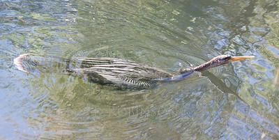 Anhinga, or Snake Head Bird, swimming, a juvenile, Shark Valley, The Everglades National Park, Florida