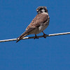American Kestrel, our smallest raptor. They are plentiful in Maine but are migratory. They are plentiful in Florida, too.