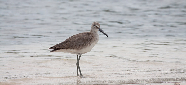"""Willet, Catoptrophorus semipalmatus is a shore bird also found in Maine in the summer months. It is migratory in Maine. This was photographed in south Florida on Sanibel Island at the J.N. """"Ding"""" Darling National Wildlife Refuge, March 2013. For more about this wonderful preserve see http://www.fws.gov/dingdarling/About/DingDarling.html"""