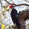 Male Pileated Woodpecker, our largest woodpecker. This bird was photographed in The Everglades National Park, at Nine Mile Pond on the road to Flaming, south Florida, March 2013. This is a very common bird in Maine and it is a year round resident here.