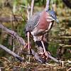 Green Heron adult, Butorides virescens, a wading, migratory bird of wetlands