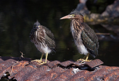Green heron chicks, what cuties!