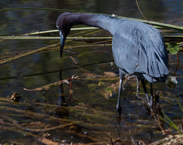 Little Blue Heron sees itself in the water, lovely reflection while catching a fish